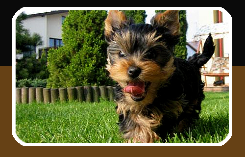 A Yorkie Poo puppy playing